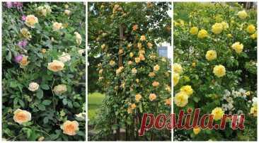 Желтые плетистые розы: 16 лучших сортов с фото и хитрости выращивания на Supersadovnik.ru
