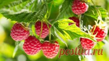 Как увеличить урожайность малины: одна хитрость позволит собирать ягоду ящиками