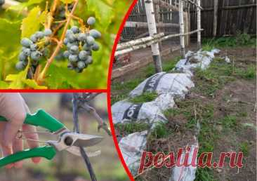 Как я ухаживаю за своим виноградником перед зимними холодами в условиях средних широт | Огородные шпаргалки | Яндекс Дзен