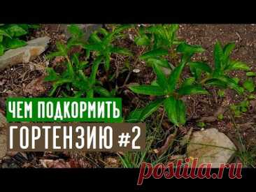 Любимые органические подкормки гортензии / Садовый гид