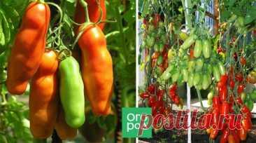 10 самых урожайных сортов томатов | Томаты (Огород.ru)