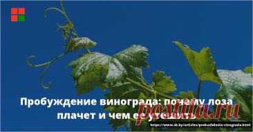 Вообще-то, когда лоза плачет, виноградарь… улыбается. Радуется, что виноград не вымерз, что жива его корневая система, а значит, можно надеяться на урожай. Впрочем, радость может оказаться преждевременной. Плач лозы — первое проявление жизни растения после зимнего покоя еще до распускания почек. ...