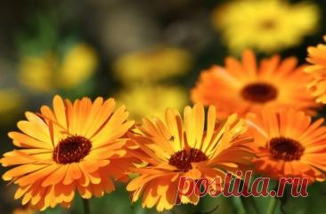 Растения, которые могут посеять сами себя: топ-10 цветов-самосевок Что делать, если нет времени ивозможности часто работать надаче, алюбоваться цветами все...