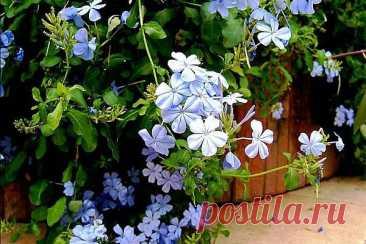 Голубая свинчатка или плюмбаго в домашних условиях Свинчатка или плюмбаго - кустарник, который выращивают и в домашних условиях. Его любят за красивое цветение и неприхотливость. Уход в домашних условиях несложен.