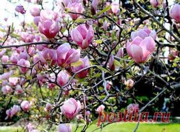 Тюльпановое дерево: фото, описание, посадка и уход | Строительство. Деревянные и др. материалы