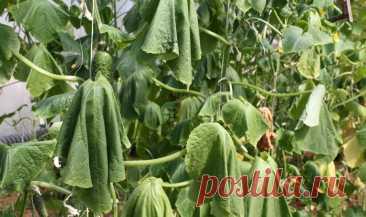 Листья огурцов начинают вянуть и сохнуть. Как их можно реанимировать и собирать урожай до начала холодов Думаю, каждый из нас не прочь полакомиться вкусными хрустящими огурчиками, выращенными на собственном огороде, ведь так? Огуречная грядка имеется практически на каждом участке, поскольку многие огородники стараются вырастить как можно больше полезных овощей, чтобы их хватило и на еду, и на... Читай дальше на сайте. Жми подробнее ➡