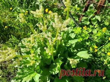 Посадите ревень в огород, красивая кожа, вкусная выпечка и защита от муравьёв вам обеспечена | ленивый огородник | Яндекс Дзен
