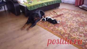 Кот достает ротвейлера)))