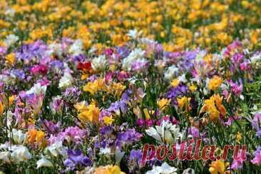 Очень эффектное луковичное растение   ФРЕЗИЯ! Это очень изящное, красивое и нежное растение, которое обладает приятным запахом, похожим на аромат ландыша, поэтому фрезию еще именуют «капским ландышем». На данный момент такой цветок пользуется огромной популярностью у садоводов как срезочная культура. Показать полностью...