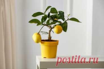 Как вырастить лимонное дерево дома?. Как вырастить дома лимон из косточки и получить плоды? Делимся лайфхаками.