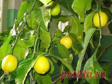 Por qué cerca del árbol del limón caen las hojas