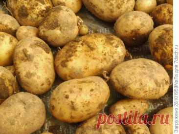 Картофель 'Скарб'. Великолепный урожай жаркого лета. Описание сорта, выращивание. Фото