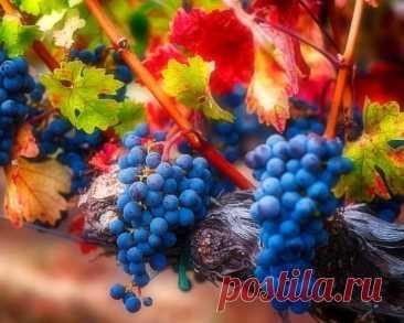 Как наверняка погубить виноград? Самые распространенные ошибки при подготовке лозы к зиме | Наша Дача | Яндекс Дзен
