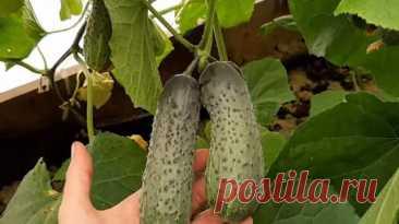 Посейте огурцы в марте и собирайте ранний урожай в мае Огурцы вполне можно получить раньше обычного срока — уже в мае, если... Читай дальше на сайте. Жми подробнее ➡