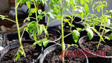 Черная ножка у томатов: правила профилактики грибка