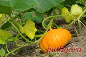 Когда собирать урожай тыквы, в каком месяце Когда собирать тыкву, садоводы определяют по описанию сорта и внешним признакам созревания. Плод должен изменить цвет, а ботва высохнуть и отпасть.