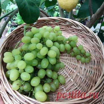 Виноград «алёшенькин»: описание сорта, фото и отзывы о нем. Основные плюсы и минусы, характеристики и особенности выращивания в регионах