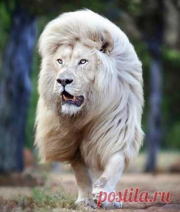 Самый красивый в мире белый лев, по кличке Мойя, не альбинос