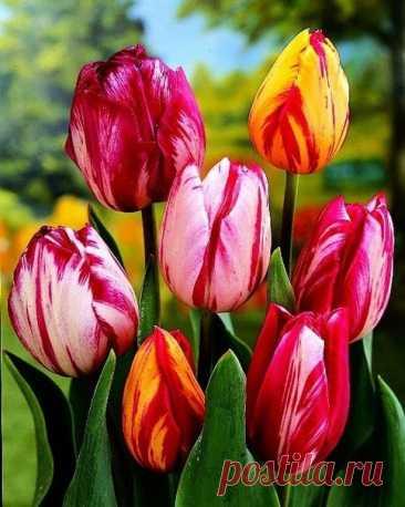Весенние подкормки для тюльпанов