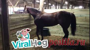 """Dancing Horse Has Happy Hooves Occurred on February 2, 2019 / Ganado, Texas, USA""""So this horse naturally just dances to any Spanish music we play for it.""""Contact licensing@viralhog.com to ..."""