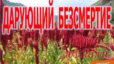 Амарант дарующий БеЗсмертие   Виктор Максименков