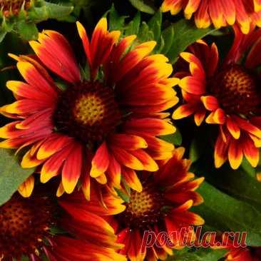 Многолетний садовый цветок Гайлардия (Gaillardia). Многолетнее травянистое растение с ланцетовидными опушенными листьями и красочными соцветиями-корзинками оранжево-коричневых тонов.  Основные виды Современные сложные гибриды объединены под названием г.гибридная, или садовая (G.hybrida). Растение 50-80 см высотой, стебли и листья густо опушены, прикорневые листья образуют розетку, стебель заканчивается желтой, желто-оранжевой или красно-желтой корзинкой.