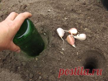 Чем заправить лунки при посадке чеснока — мой состав питательной смеси и способ посадки под бутылку   Собираем урожай   Яндекс Дзен