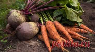 Подсказка для огородника: когда убирать морковь и свеклу с грядок Рассказываем о сроках сбора моркови и свеклы, особенностях уборки каждого корнеплода и подготовке к хранению.