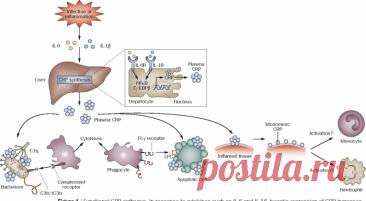 С реактивный белок важный показатель в анализе крови С реактивный белок – важный показатель в крови. Вещество вырабатывается в печеночных клетках. Его наличие в крови указывает на развитие воспалительного процесса в организме.