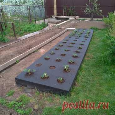 Процесс посадки клубники под чёрный укрывной материал