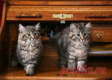 4 породы кошек, которые любят красть ювелирные украшения | PetTips