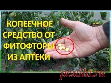 За ВОСЕМЬ рублей обработал от болезней ДВЕ теплицы с огурцами и томатами!!!  И фитофторы не будет!