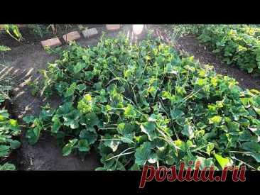 Насколько широко разрастаются бахчевые культуры