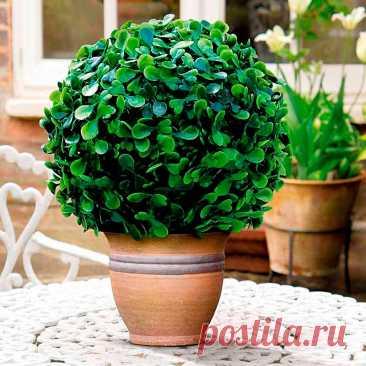 Комнатное растение Самшит (Buxus). В комнатной культуре самшит стали выращивать относительно недавно. Летом горшок с растением может стоять на открытом воздухе, осенью его заносят в помещение. Кустик самшита в горшке рекомендуется регулярно подстригать, сохраняя компактную форму растения. Мелкие листочки и густая крона помогут вам сформировать из него живой зеленый шар или конус. Самшиту в горшке нужен хороший дренаж, поскольку растение не переносит залитой водой почвы.