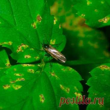 Вредитель комнатных растений Грибные комарики. У этих вредителей две формы существования: маленькие черные насекомые, которые летают вокруг растения, безвредны. Опасность представляют крошечные белые с черными головками червеобразные личинки, которые выводятся из их яиц. Личинки питаются преимущественно органическими остатками в почве, но иногда пожирают молодые корни растений. Особенно опасны они могут быть при повышенной влажности почвы.