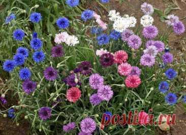 Низкорослые многолетние цветы, которые можно и нужно сеять с осени