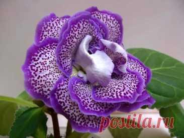 ГЛОКСИНИЯ(СИННИНГИЯ).  Глоксиния или синнингия представитель семейства геснериевых - популярное комнатное растение, которое ценится за красивые цветки и продолжительное цветение.  Цветки крупные, колокольчатой или трубчатой формы, бывают красного, фиолетового, розового, белого цвета, а так же двуцветными. Существуют махровые и немахровые формы. Листья тёмно-зелёные, бархатистые. Обычно цветение приходится на лето. В высоту достигает 5-25 см, встречаются и более высокие вид...