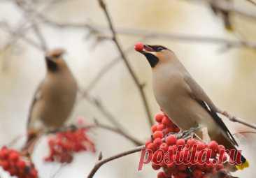 Эпидемия птичьего «пьянства»,  чем можно помочь пернатым? С началом зимы интернет запестрел новостями о странном поведении птиц, в основном... Читай дальше на сайте. Жми подробнее ➡