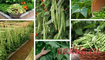8 secrets to growing fresh beans in your garden | My desired home