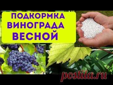 Подкормка винограда весной. Как и чем подкормить виноград весной в апреле и мае