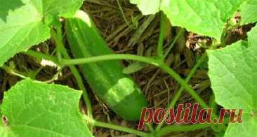 Двойной урожай огурцов с каждого куста – особый метод | Обо всем интересном | Яндекс Дзен