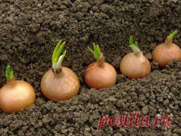 Репчатый лук: секреты выращивания хорошего и крупного урожая   О Фазенде. Загородная жизнь   Яндекс Дзен