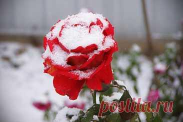 Простой способ укрыть розы и другие цветы на зиму, чтобы не замёрзли