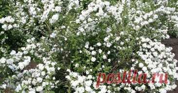 Интересное о жасмине кустарниковом, его видах и сортах Жасмин кустарник – многолетняя культура, семейства маслиновых. Цветок цениться своей изысканной красотой и необычным, земляничным ароматом. Раньше растение произрастало только в странах с благоприятны...