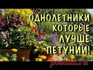ПЕТУНИЮ больше НЕ ПОСАЖУ! Нашла цветы НАМНОГО КРАСИВЕЕ, а главное они ЦВЕТУТ БЕЗ УХОДА до ЗАМОРОЗКОВ