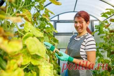 Как избежать пожелтения листьев огурцов | Азбука огородника | Яндекс Дзен