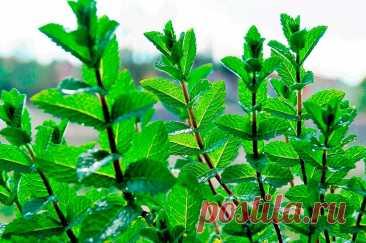 Лекарственное растение Мята перичная (Mentha Xpiperita). Многолетнее растение высотой до 80 см, полученное в результате скрещивания мяты водяной и мяты зеленой. Растение с сильным ароматом.Листья удлиненно-яйцевидные до ланцетных, с четко выраженными черешками, спереди заостренные, зубчатокрайние, с нижней стороны слегка опушенные, с верхней стороны, как и стебель, голые. Розовые цветки собраны в плотные, внизу часто прерывающиеся колосовидные соцветия длиной 4-6 см.