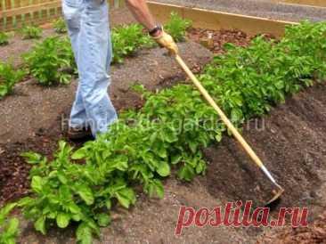 Своевременный и бережный уход за картофелем после посадки