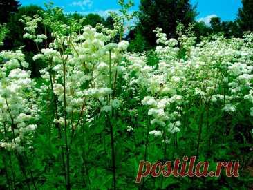 Лекарственное растение Таволга вязолистная (Filipendula ulmaria). Многолетнее прямостоячее растение с граненым стеблем высотой 1-1,5 м. Листья прерывисто-перистые с 2-5 парами крупных, по краям двояко-зубчатых, яйцевидных листочков. Желтовато-белые мелкие цветки с очень сильным запахом собраны в многолучевые ложные зонтики. У похожей таволги обыкновенной (F. vulgaris) высота всего 30-80 см, тонкий круглый или слабо желобчатый стебель, прерывисто-перистые листья.