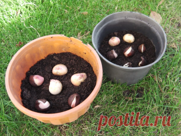 Как посадить тюльпаны под зиму в горшочки и весной выращивать их в кашпо в любом удобном месте   Собираем урожай   Яндекс Дзен